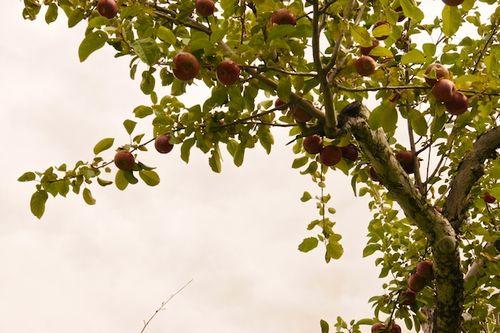 Apples14