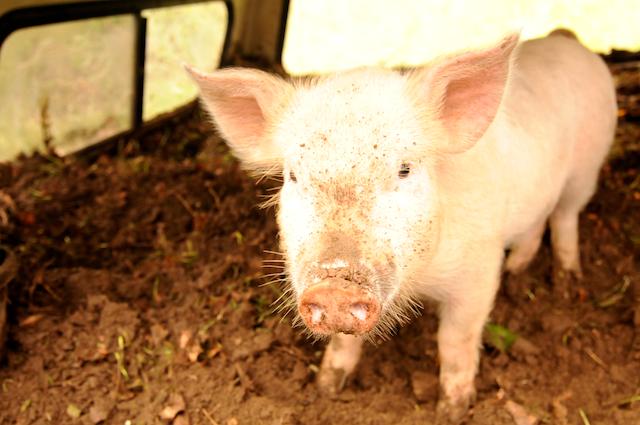 Pigs (5)