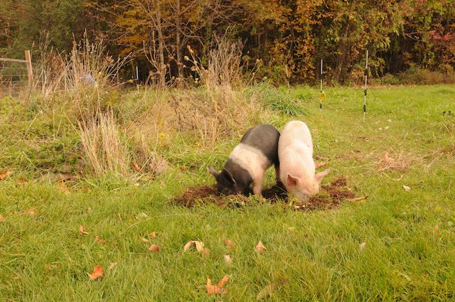 Pigs (8)