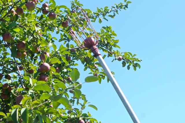 Apples (2)