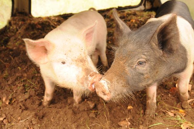 Pigs (6)