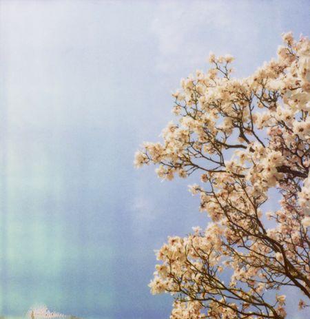 Conway_magnolias