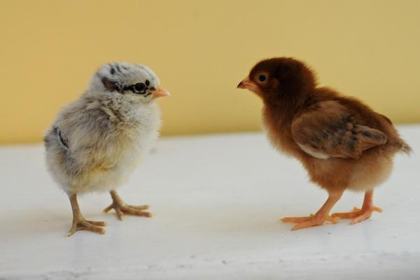 Chicks (13)
