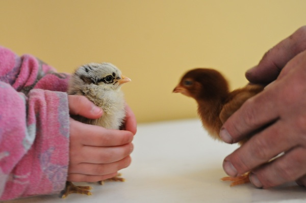 Chicks (14)