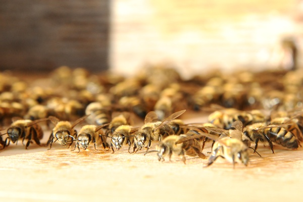Bees (10)