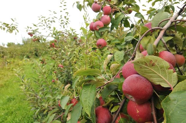 Apples (3)