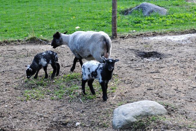 Lambs (3)