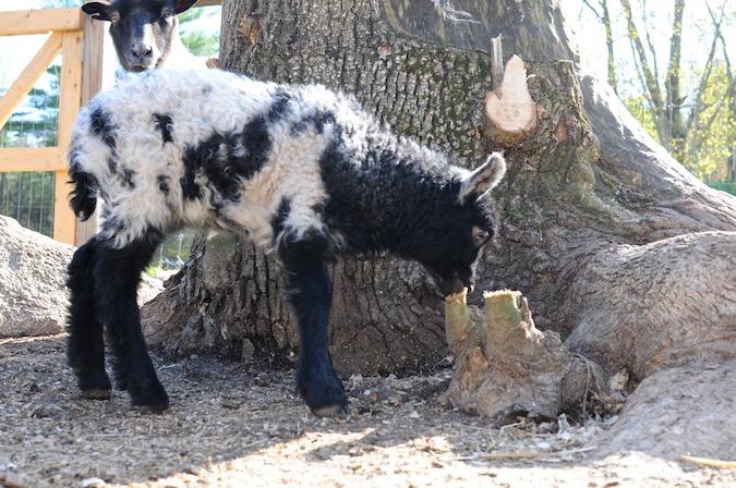 Lambs (6)