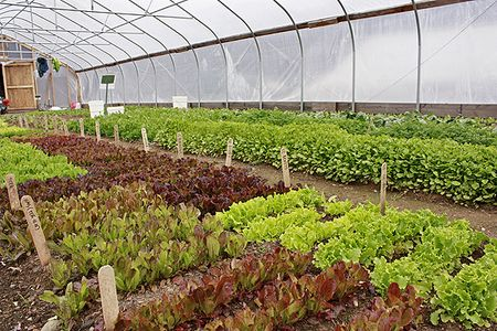 Lettuce greenhouse - small res