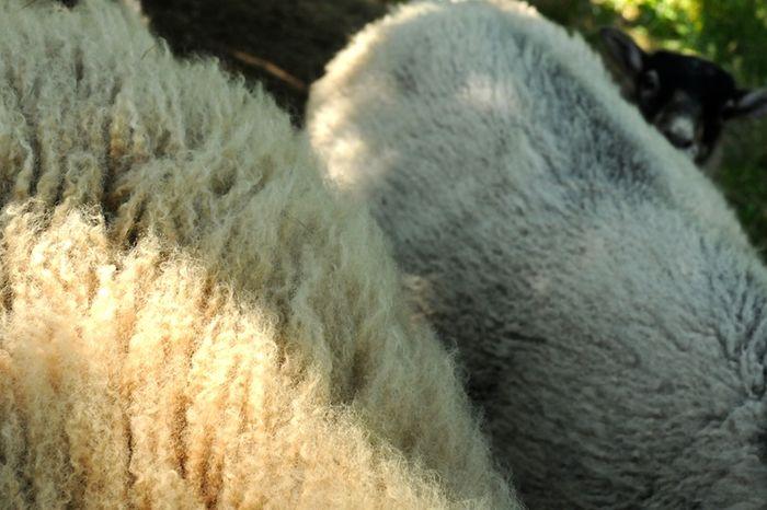 Wool (1)