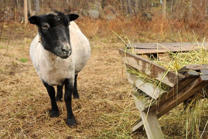 Sheep (3)