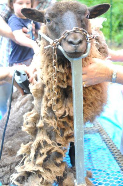 Shear (4)