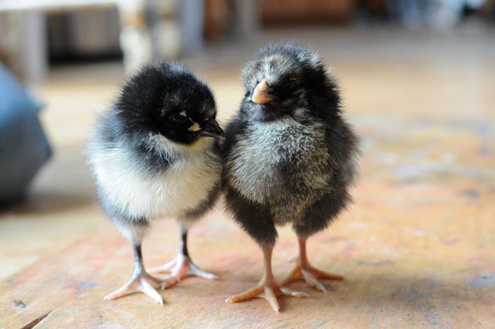 Chicks07