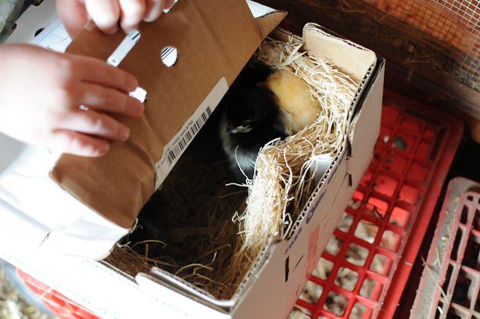Chicks02