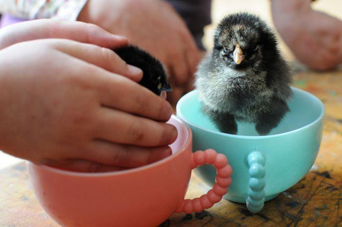Chicks10