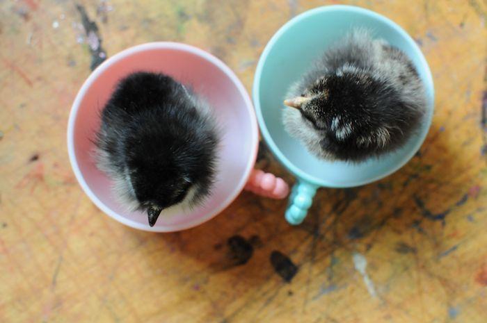 Chicks11