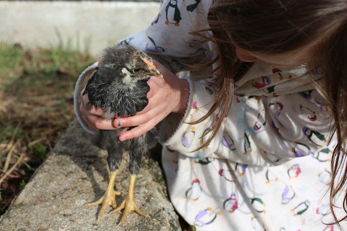 Chickens05