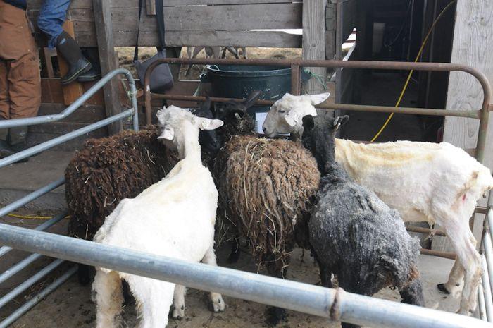 Shear-7
