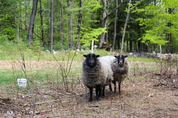 Shear-4