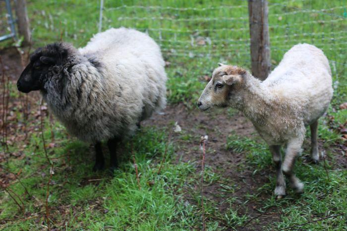 Shear-2-2