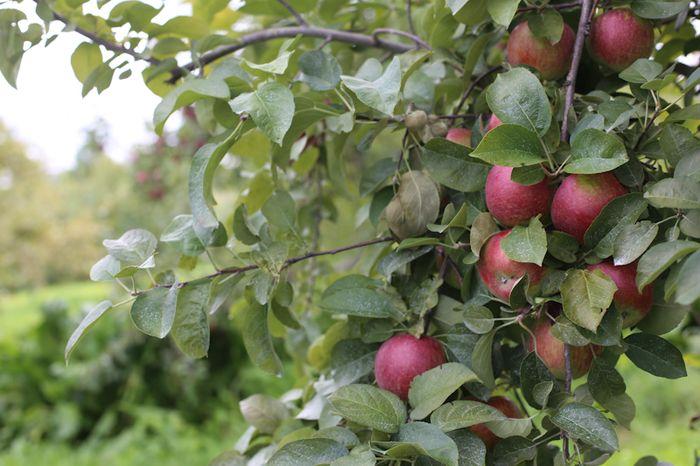 Apples-13