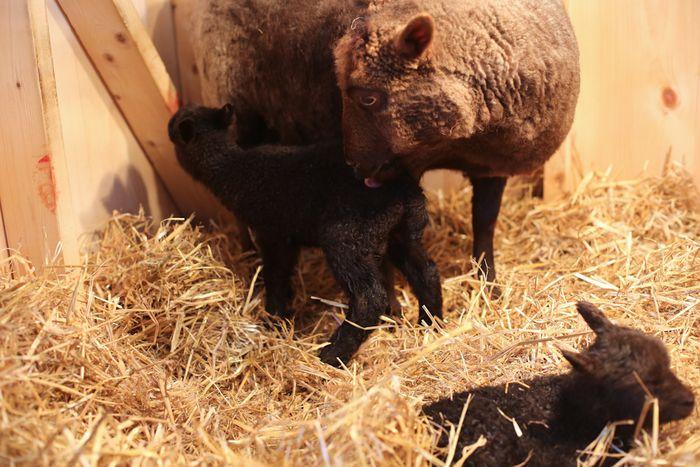 Lambs-8