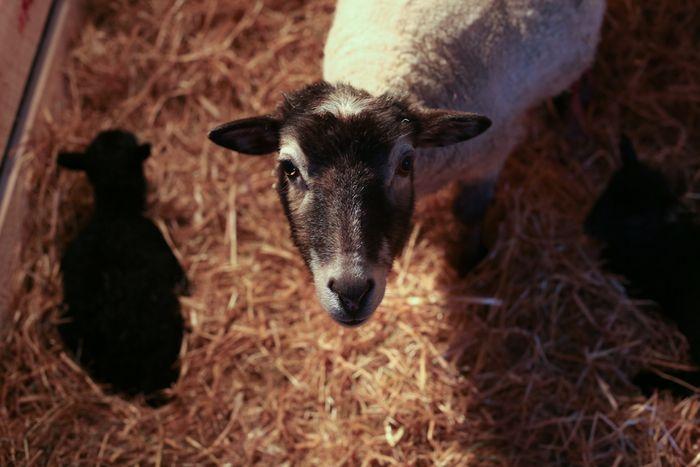 Lambs-12