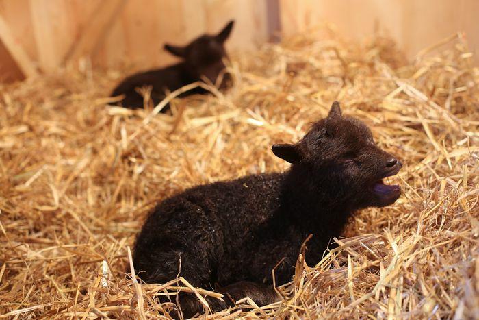 Lambs-7