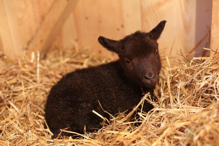 Lambs-6