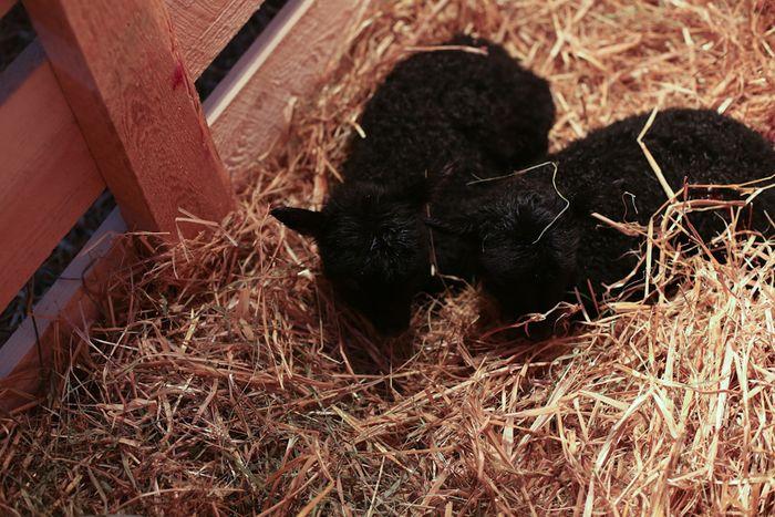 Lambs-14