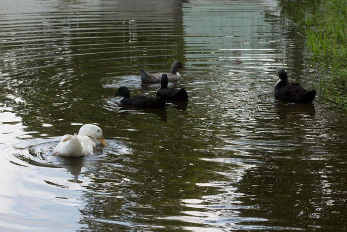 Ducks-1-5