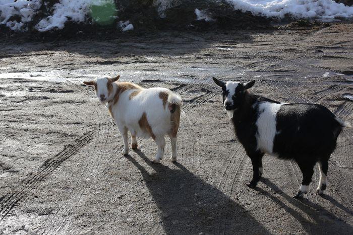 Lambs-4