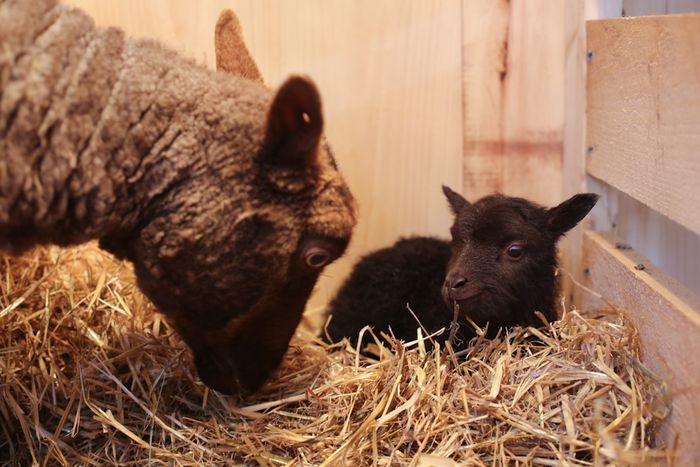Lambs-9