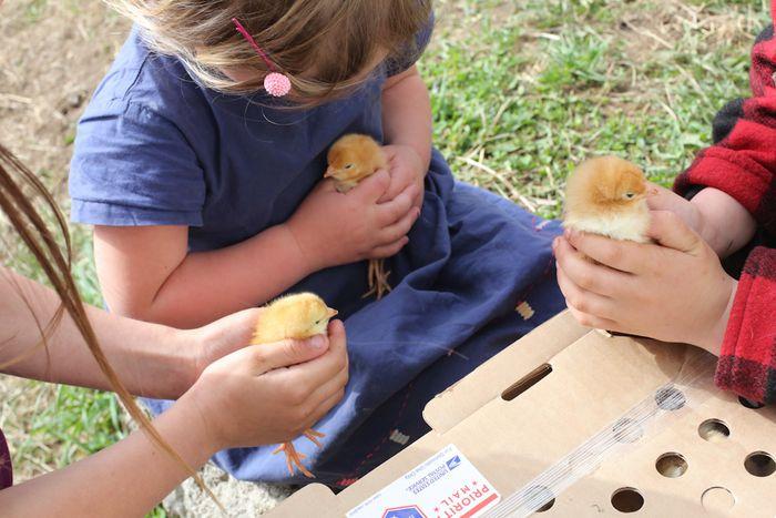 Chicks-4