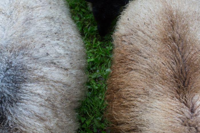 Sheep-1-6