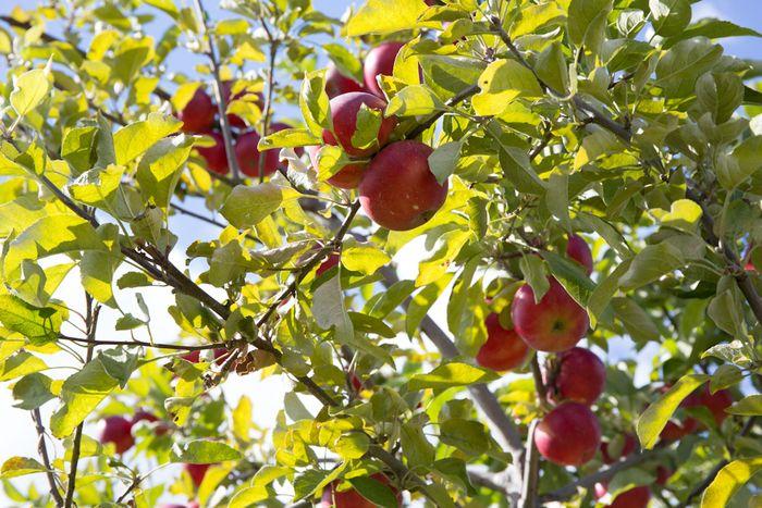 Apples-1-7