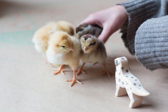 Chicks-8