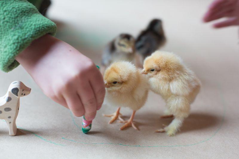 Chicks-9