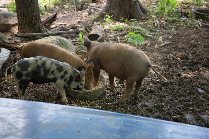 Pigs2-1