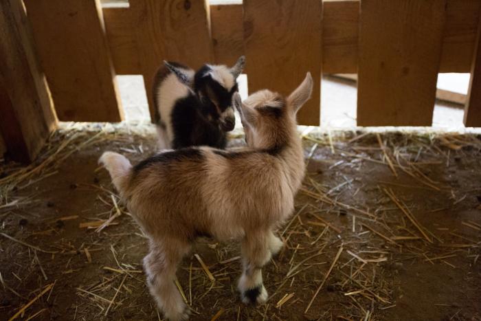 Goats-1-4