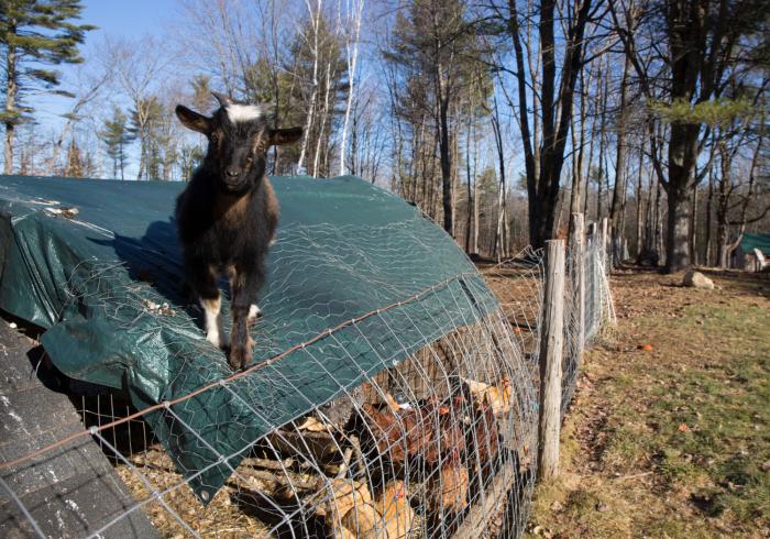 Goats-3