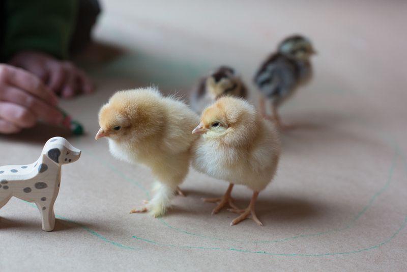 Chicks-10