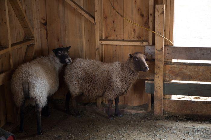 Shear-16
