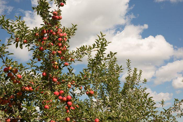 Apples-1-4