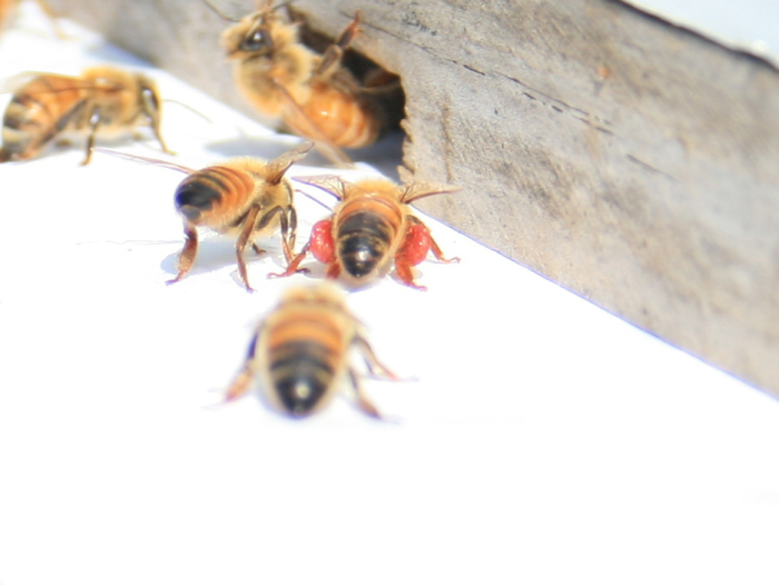 Bee-pollen-sacs