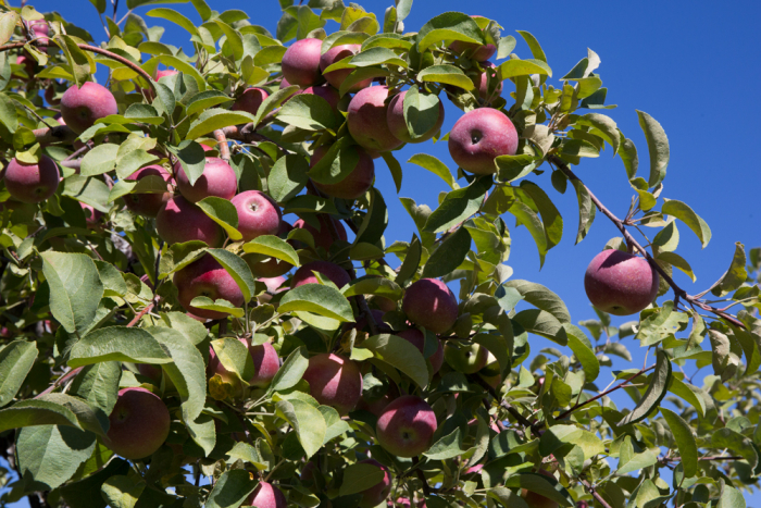 Apples-17