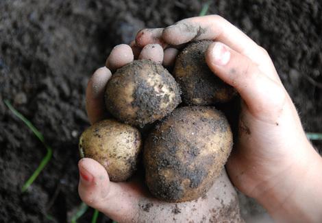 Potatoes1_2